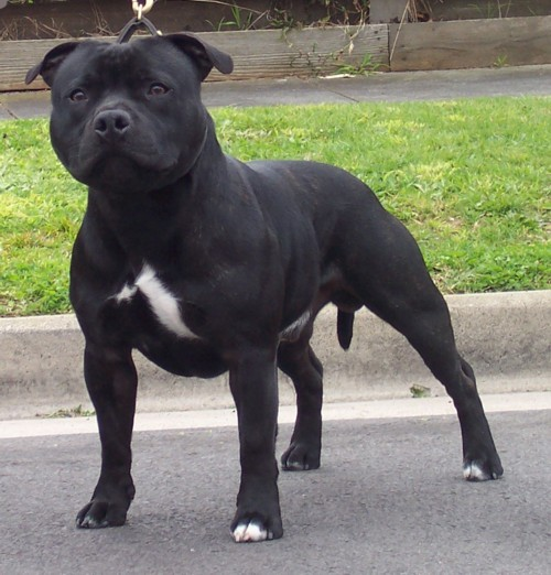 Some historical information about dogs - Staffordshire Bull Terrier In Fighting And Breeders