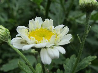Feverfew flower plant