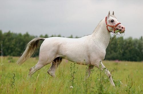 Hd animals wallpapers white arabian horse pictures - Arabian horse pictures ...