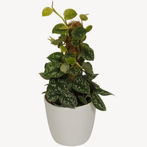 Sirih Belanda juga dikenal dengan nama Devil's Ivy