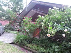 山の家のバラ