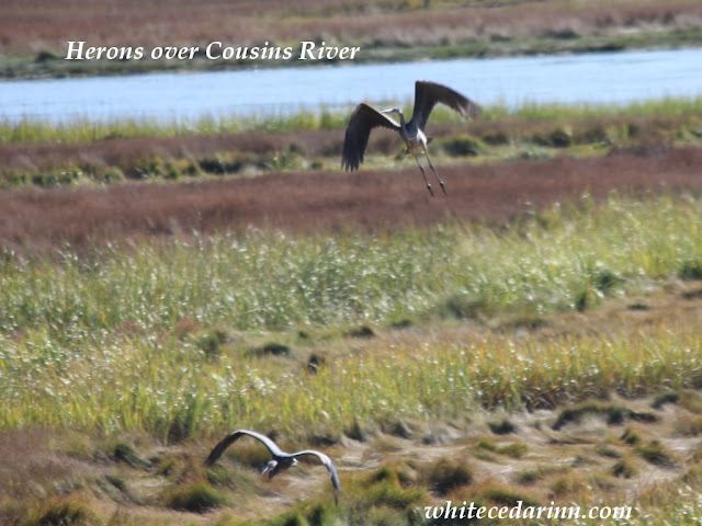 great blue herons at Cousins River Freeport Maine