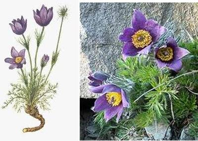 Pulsatilla For Dog Ear