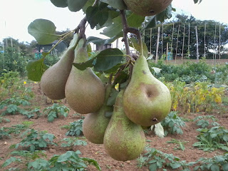 pears ready to harvest