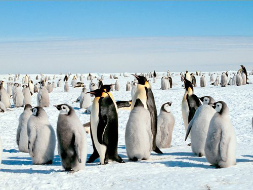 Foto Gerombolan Pinguin