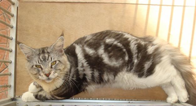 Kucing 3 Warna Jantan Mitos Mitos Kucing Kembang Telon