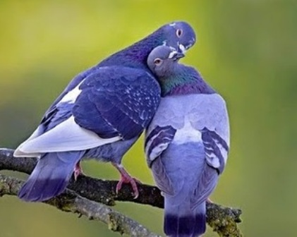 wallpapers of love birds. wallpapers of love birds.