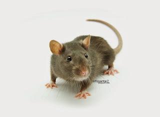 http://3.bp.blogspot.com/-TiTnfQIUf4w/UnSBap-LpPI/AAAAAAAAEz8/liHw0V-G-wc/s320/rat_control.jpg