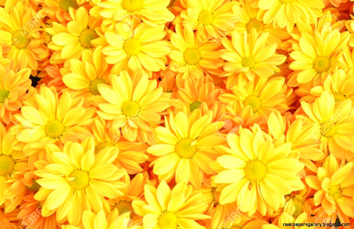 Yellow Chrysanthemum Flowers Background Stock Photo Picture And
