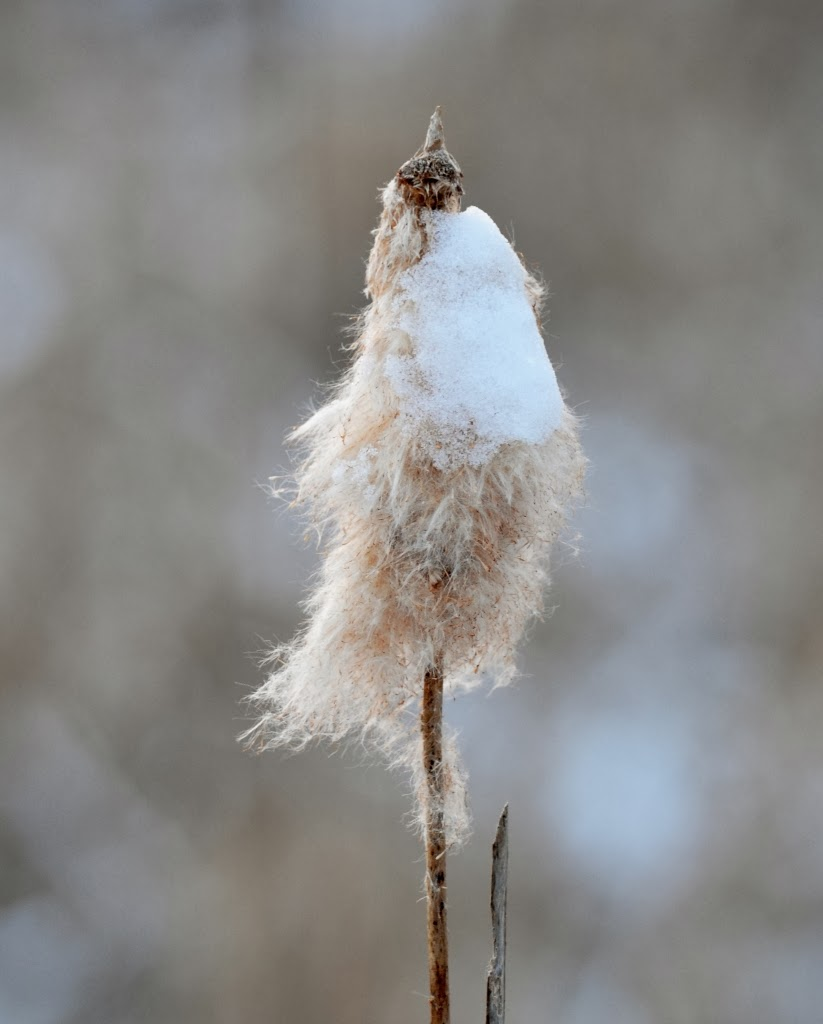 snow-covered cattail fluff