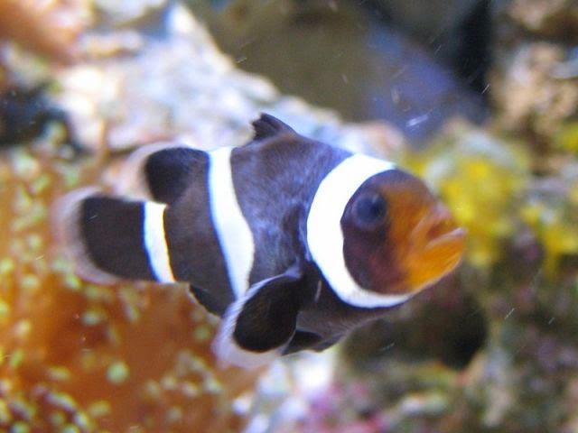 Resultado de imagen de oodinium acuario marino