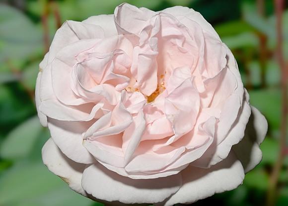 Constanze Mozart rose сорт розы фото
