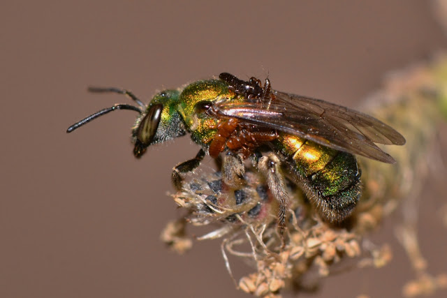 metallic green bee with parasites