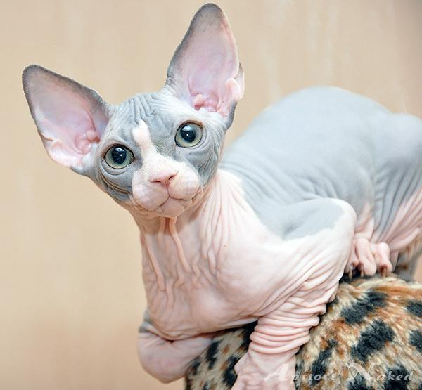 How To Keep A Sphynx Cat In The House