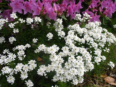 Candytuft below azalea