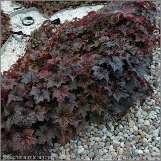 Heuchera micrantha 'Palace Purple' - Żurawka drobnokwiatowa 'Palace Purple'