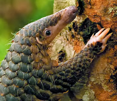 http://3.bp.blogspot.com/-Tjtz_4iPGcM/UjwWyioR9EI/AAAAAAAAAII/jChlNGdcbJw/s1600/pangolin-better-close-up.jpg
