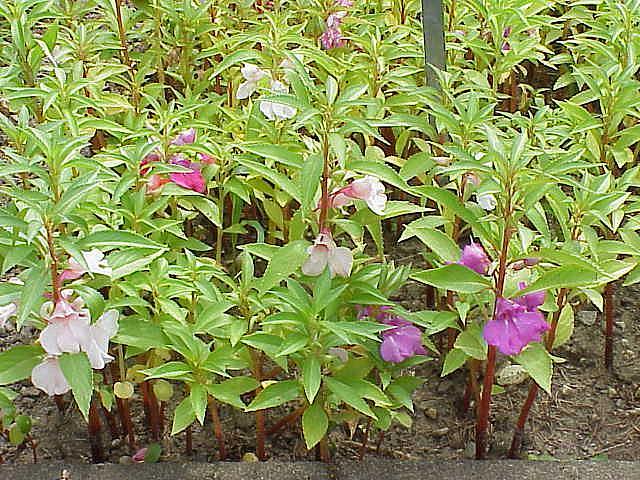 Plantas de casa impatiens walleriana - Alegria planta cuidados ...