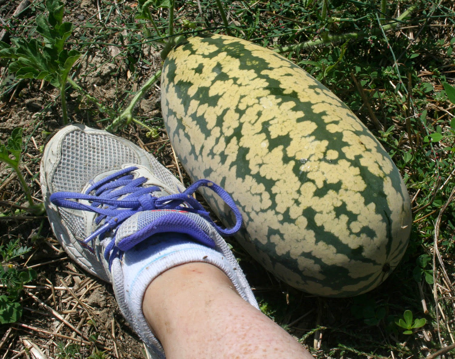 This melon is getting huge