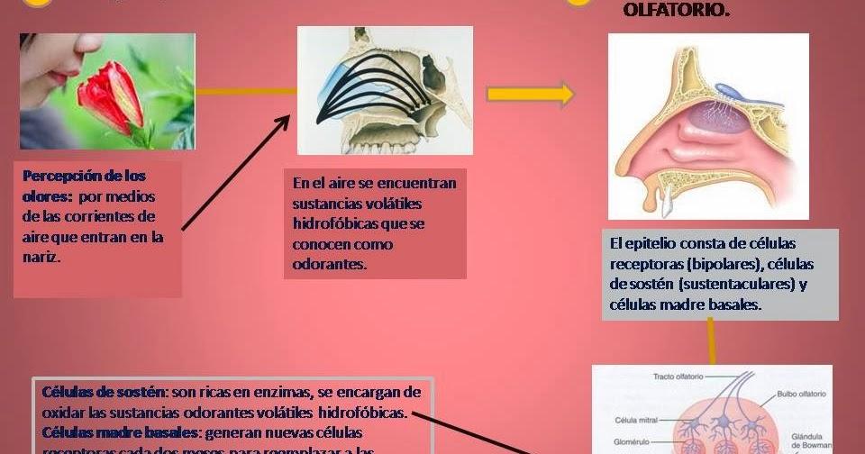 Sentido del Olfato. | Blog de Fisiología Médica