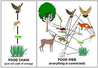 Copy Of Food Chains/ Food Webs - Lessons - Tes Teach