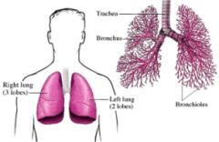 cara mengobati radang paru-paru