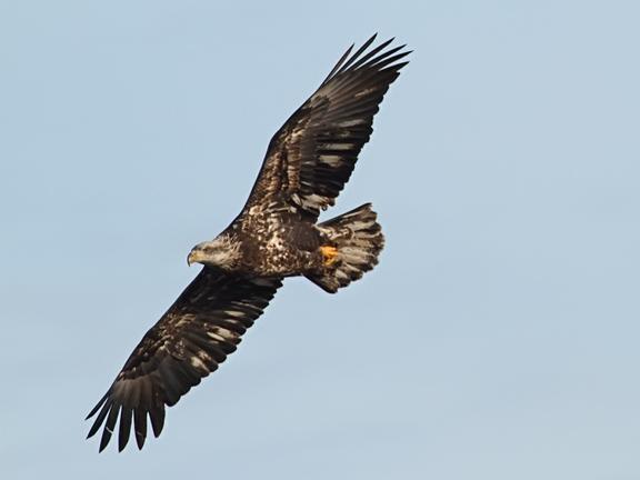 Ecobirder colvill park an eagle s winter retreat