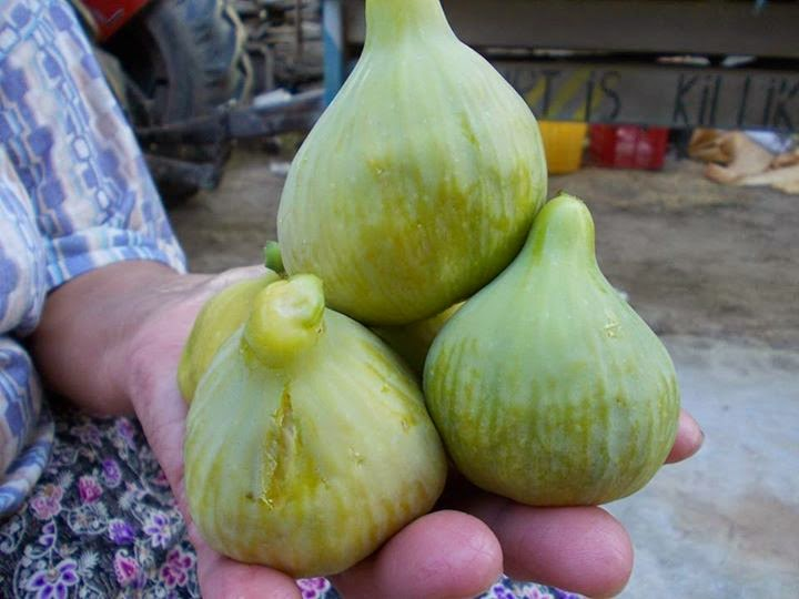 White Patlican Fig
