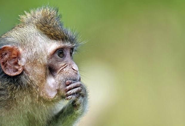 Reflexão Pensador Macaco