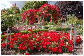 Budidaya Tanaman Hias, Cara Menanam Bunga Mawar, bunga mawar, manfaat bunga mawar, bunga hias, bibit bunga mawar