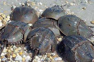Horseshoe Crab Atau Belangas (445 Juta Tahun)