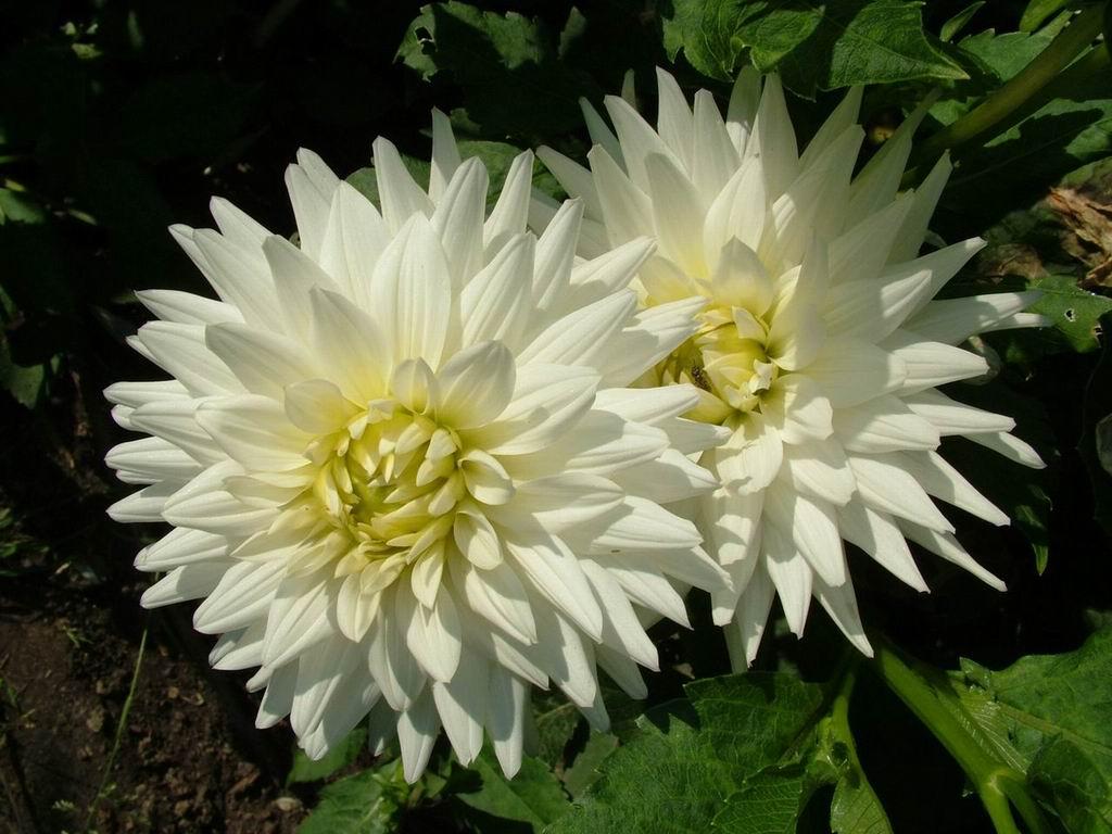 Flowerstory Dahlia