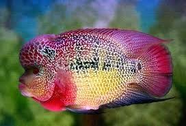cara merawat ikan louhan, cara memeliharan ikan louhan, ikan louhan