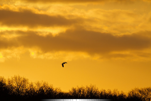 Purperreiger bij zonsopkomst
