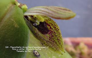Acianthera saundersiana variedade 3 do blogdabeteorquideas