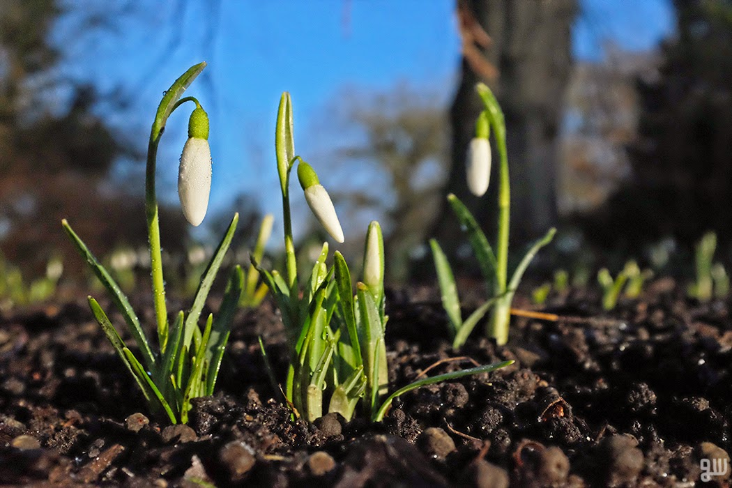 Galanthus - ©2015 Graeme Walker-Garden Photography,Plants,Geology,Creatures