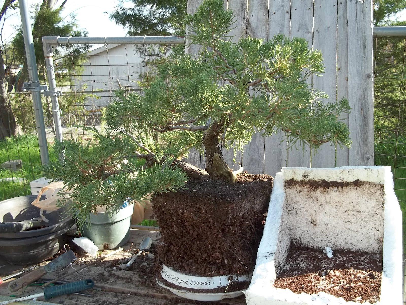 Bent Tree Bonsai April 2012
