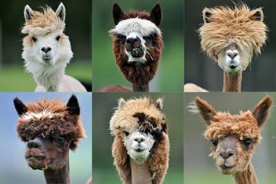 KOMBINASI gambar menunjukkan fesyen bulu di kepala alpaca di sebuah ladang di Goeming, Austria.