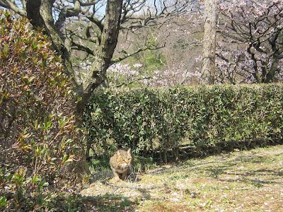 兵庫県・中山寺の梅林 ねこ