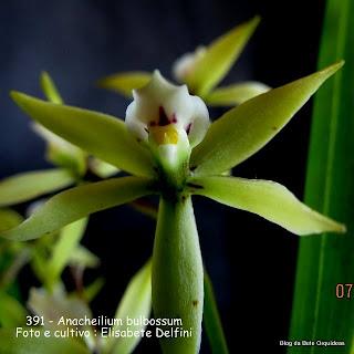 Prostechea inversa, Prostechea bulbosum, Epidendrum bulbosum, Encyclia bulbosa, Prostechea bulbosa