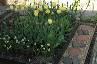 Yellow tulips towering above shorter varieties not yet in bloom in a raised bed with wooden edging.