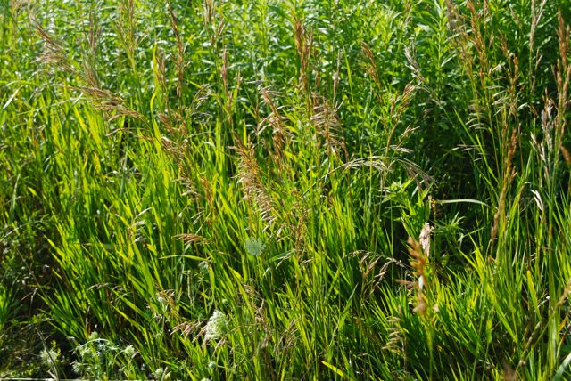 Grasses flowering in a natural area at our local park.