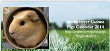 Undercover Guinea Pigs Calendar 2014 is ready to order!