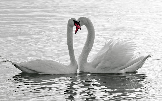 Pair of Swans
