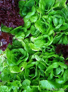 Two Kinds of Lettuce in Garden