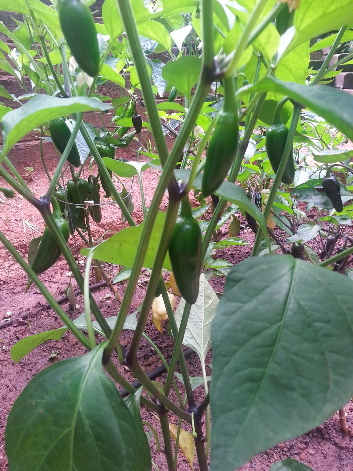 organic jalapenos in raised bed garden