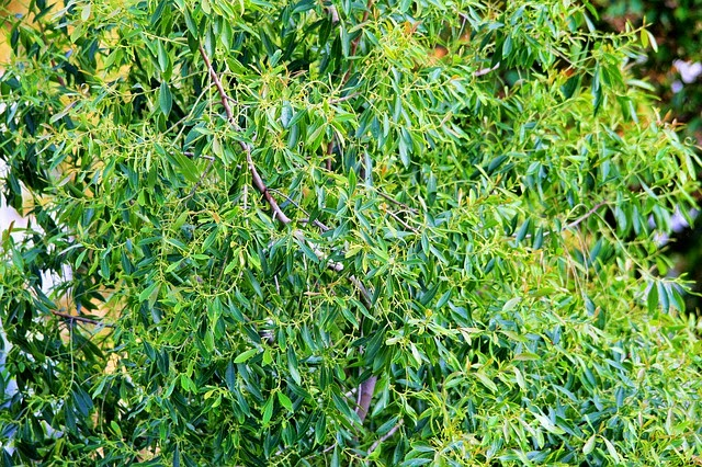 Arbusto del árbol del té (melaleuca alternifolia)