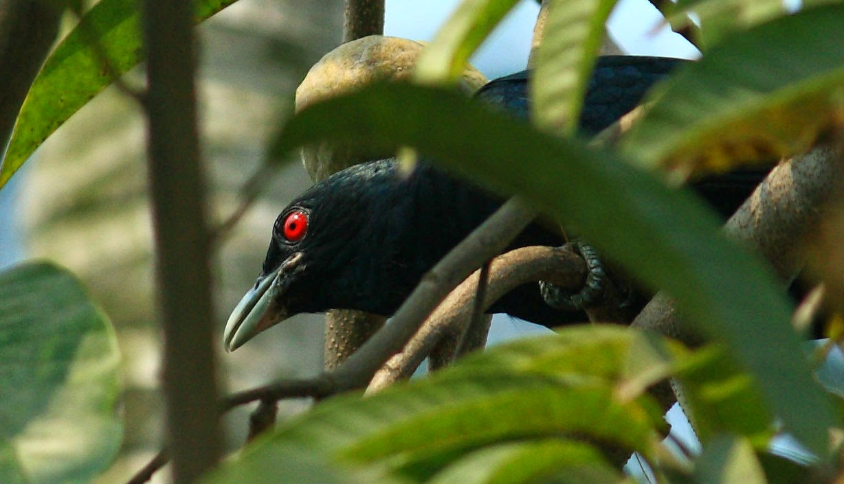 Asian Koel Male