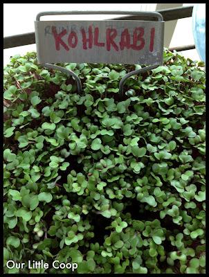 gardening microgreen garden plants kohlrabi