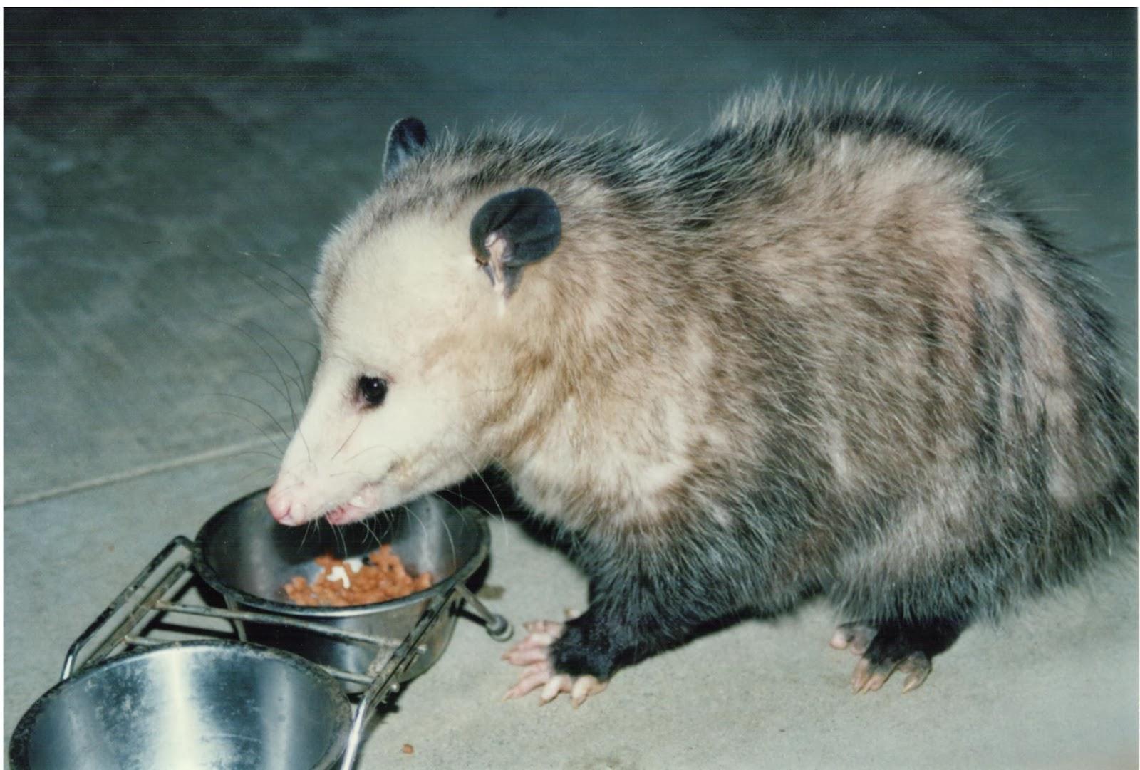 Possum Eating Cat Food